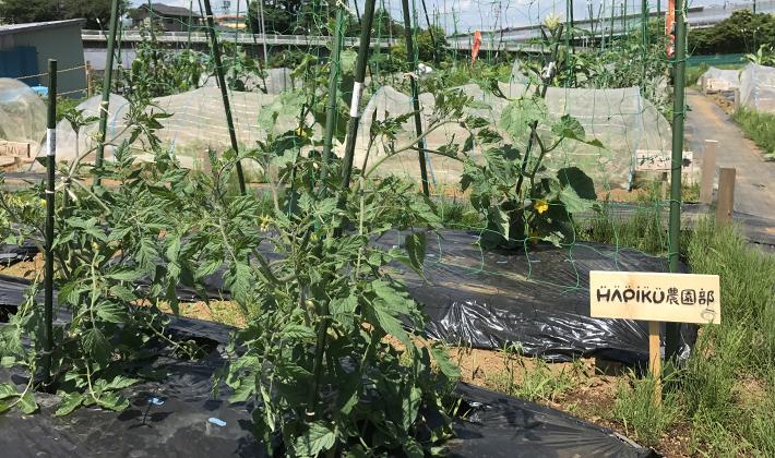 種まきから1ヵ月、待望の葉物野菜初収穫♪<br>夏野菜には早くも小さな実を発見!の巻